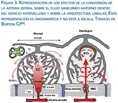Flujo sanguíneo uterino en el embarazo