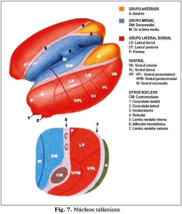 Anatomia y Fisiologia del Sistema Nervioso: DIENCÉFALO