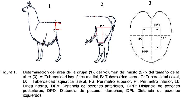 Evaluación de las medidas de grupa y muslo de la cría y ubre de la ...