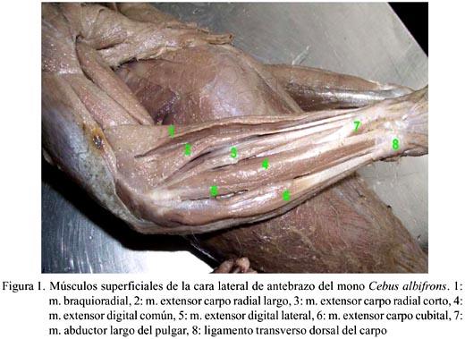 Anatomía macroscópica de la musculatura del miembro anterior del ...