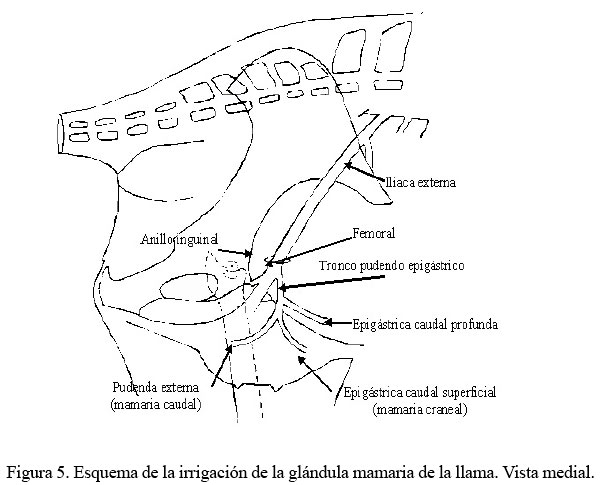 Anatomía macroscópica de la glándula mamaria de la llama (Lama glama)