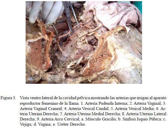 Anatomía macroscópica, irrigación y drenaje venoso del aparato ...