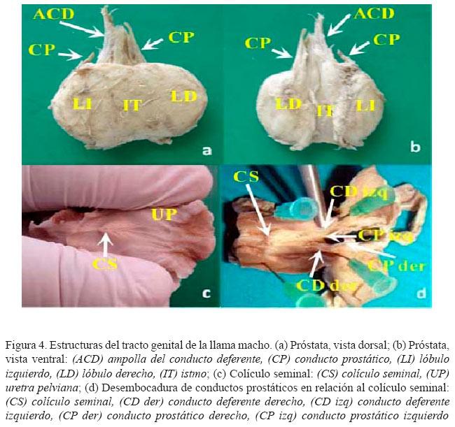 Sistema Urogenital Masculino Equino