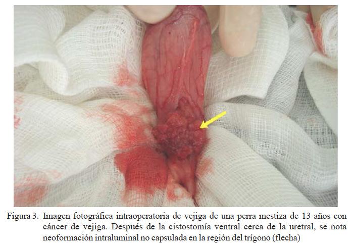 Carcinoma De Células Transicionales En Perros Un Informe De Dos