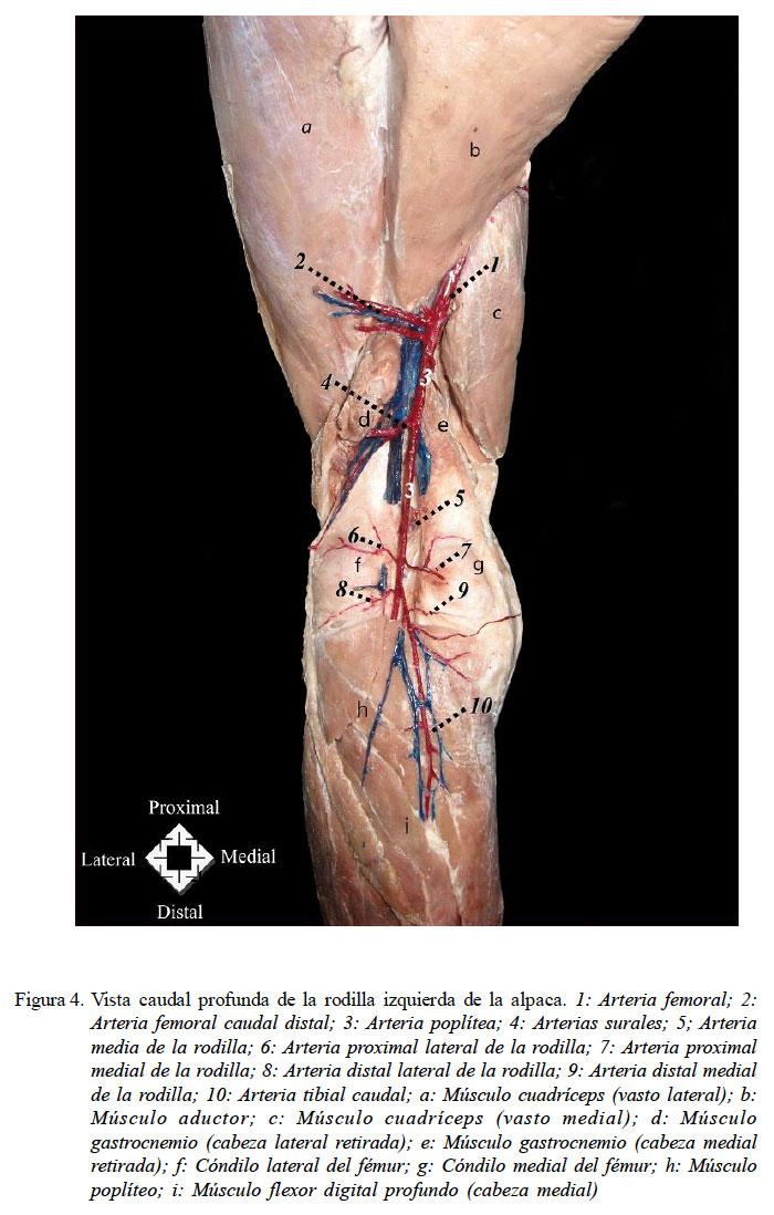 Irrigación arterial del miembro pélvico de la alpaca (Vicugna Pacos)