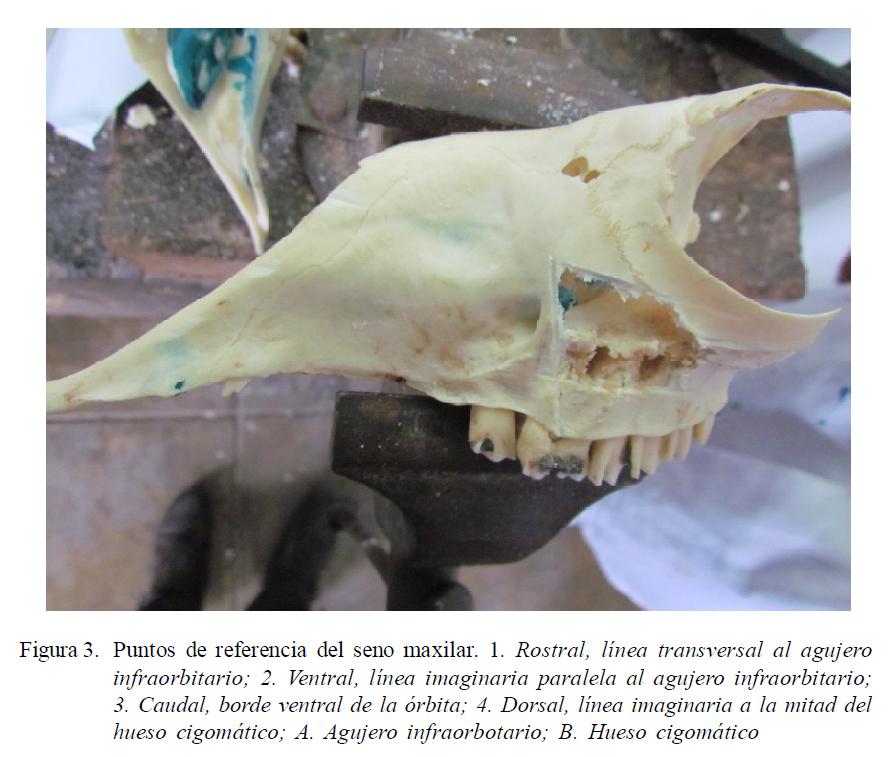 Descripción Anatómica de los Senos Paranasales de la Alpaca (Vicugna ...