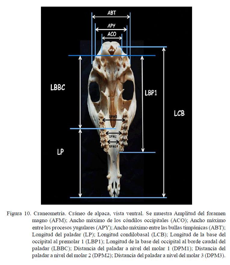 Osteometría del cráneo de la alpaca adulta (Vicugna pacos)