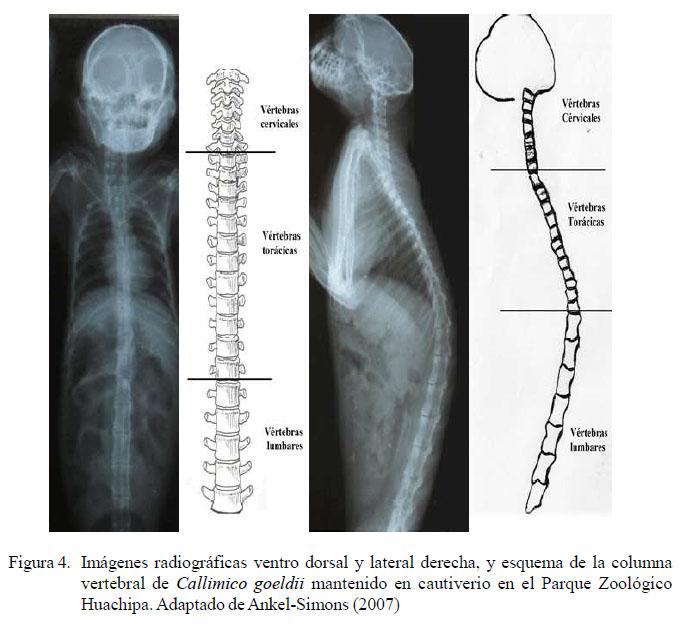 Descripción Radiológica De La Osteología Del Mono Tití De Goeldi