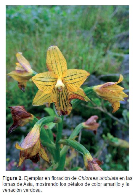 Notas sobre Chloraea undulata \